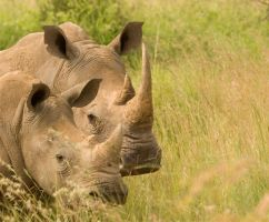 White rhino mother and calf by alecd