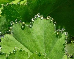 dew drops on Lady's Mantle by sherln