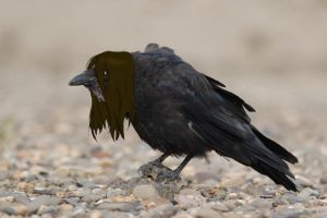 Heavy Metal Crow by Marcel-the-Crow