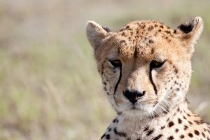 Cheetah - 4913 by eight-eight