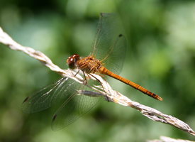 Brown Dragonfly by ShadeeWolf