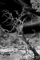 Infrared Canyon Tree by DavidLPhotography