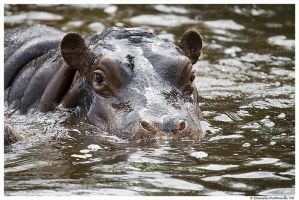 Baby Hippo in the Water by TVD-Photography