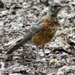 Central Park robin 1 - New York by wildplaces