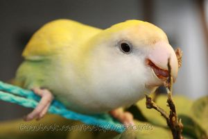 Pippin chewing fresh young guava branch by emmil
