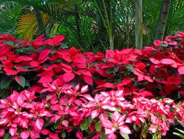 Poinsettias and Palms by joeyartist