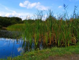 Reeds by glawrence