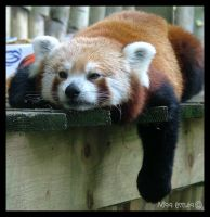 Sleepy Red Panda by misseccles