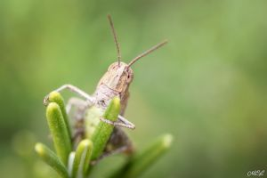 A locust watching you by MCL28