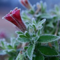 Frosted Petunia by Lonnieatk