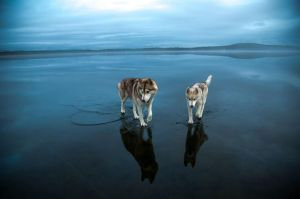 Two Majestic Huskies Walk on Water by AhmedMoFree1996
