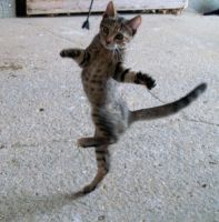 Dancer Cat by JazzyPotter