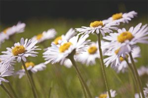 daisies by friday-forever