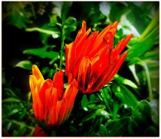 Gazanias Blossoming by surrealistic-gloom