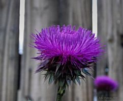 thistle on the fence by sonafoitova