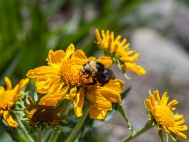 Nevada Bumble on flower by MartinGollery