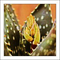 Aloe Vera Buddy by TeaPhotography
