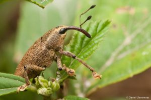 Long nosed weevil by dllavaneras