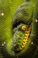 Green Tree Python by 8TwilightAngel8