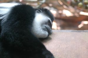 Napping Colobus Monkey by highlyimprobable