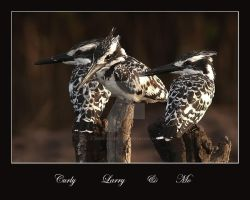 Curly, Larry and Mo - Pied Kingfishers -video grab by Jamie-MacArthur