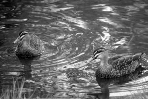 Pacific Black Ducks by mattboggs