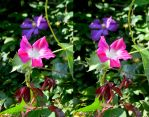Convolvulus Flower Stereo by aegiandyad