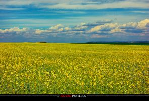 Fields of gold by razvanx