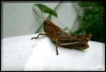 Grasshopper Profile by draconiangem