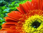 Sunflower by natthan54