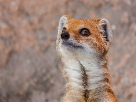 Yellow mongoose-2 by MartyMcFly81