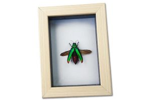 Real Jewel Beetle Entomology Display by TheButterflyBabe