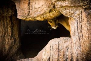 Mountain Lion: Peeking by Flame-of-the-Phoenix