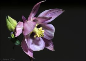 Aquilegia I by Stumm47