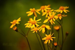 Yellow Flowers by shaguar0508