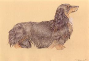Long Haired Dachshund by Korrok
