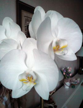 orchid 6 by Tizziana