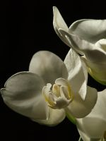 White Moth Orchid 02 by botanystock