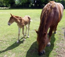 13 Suffolk Punch Filly + Mare by chaotezy