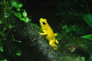 Poison Dart Frog by MindlessConception