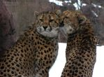 Cheetah Love 551 by caybeach