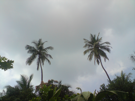 The Coconut Trees by Shuberth