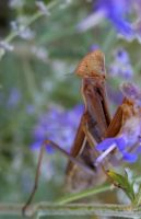 Praying Mantis II by Bimmi1111