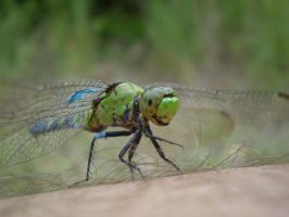 Old Man Dragonfly by Raulboy