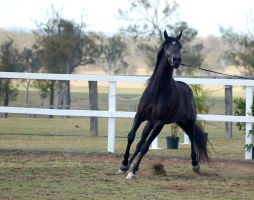 GE Arab Black walktrot front by Chunga-Stock