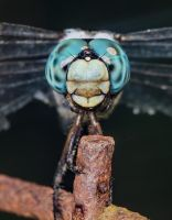 Rust and Dragonfly Close Up by drhine