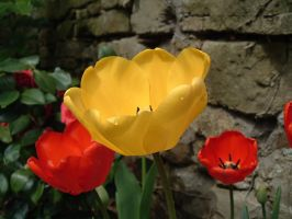 Tulips IV by Arsenica-stock