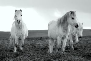 mountain ponies in black and white by imtl