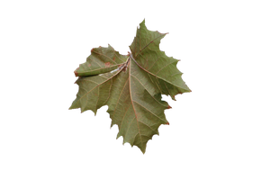 Autumn Leaf Front view Stock 1a by Crematia18