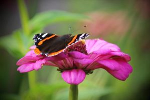 butterfly on a flower by SvitakovaEva